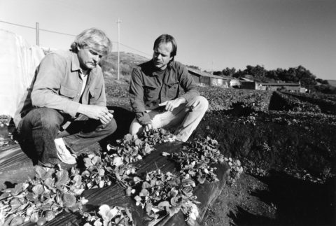 Jim Cochran and Sean Swezey inspect a plot of strawberry plants.
